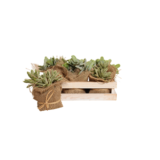 Jade Succulent in Wooden Box (6 pcs)