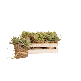 Little Jewel Succulent in Wooden Box (6 pcs)