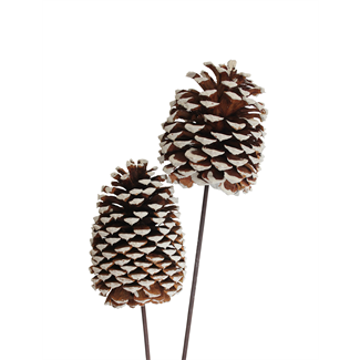 Jeffrey Pine Cones X-Large 3 stem - white tipped