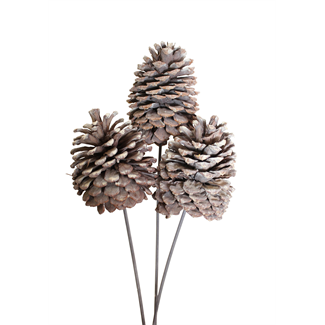 Jeffrey Pine Cone X-Large 3 stem- white wash
