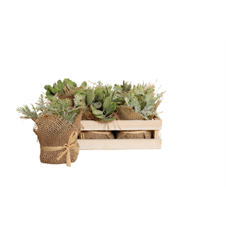 Mini Pine Tree Succulent in Wooden Box (6 pcs)