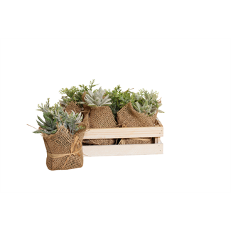 Dudleya Succulent in Wooden Box (6 pcs)