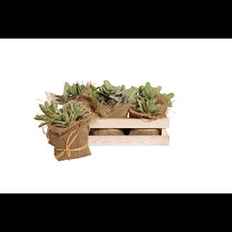 Jade Succulent in Wooden Box (6 pcs)