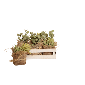 Pig's Ear Succulent in Wooden Box (6 pcs)