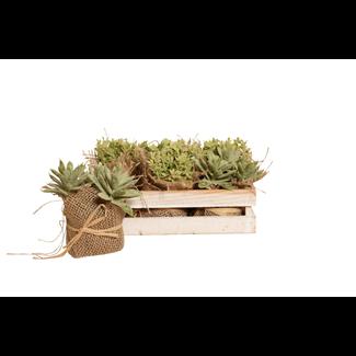 Little Jewel Succulent in Wooden Box (6 pcs)