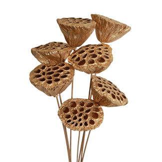 Lotus pods (7 stem) Gold painted