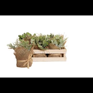 Mini Pine Tree Succulent in Wooden Box (6 pcs)