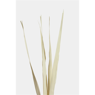 Sunpalm Leaves (7 stem) Bleached
